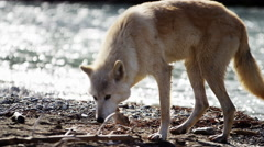 Powerful North American wolf by woodland wilderness river Stock Footage
