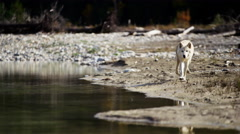 Wild grey wolf crossing a river outdoor on National Reserve Stock Footage
