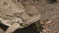 Stock Video Footage of Alberta, Greater Short-horned Lizard 5