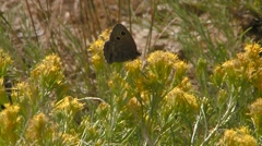 Moth perched on a yellow flower in Alberta grasslands. Zoom - stock footage