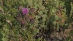 Pink thistle flower growing in the Alberta prairies. Stock Footage