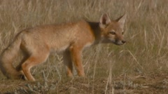 Swift Fox cub running to its den. Stock Footage