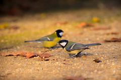 Great tit in the park Stock Photos