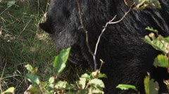 Black bear grazing in a forest clearing. Stock Footage