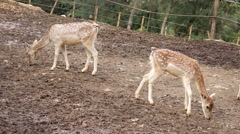 Young fallow deers Stock Footage