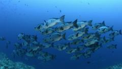 School of tropical fish - black and white snapper Stock Footage