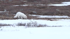 Arctic fox eating snow. Stock Footage