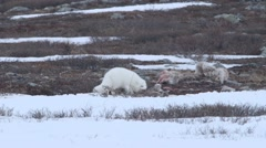 Stock Video Footage of Arctic fox eating caribou 1