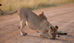 African Lionesses, Maasai Mara, Kenya - stock photo