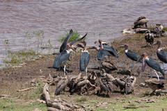 Marabou storks and vultures, Maasai Mara - stock photo