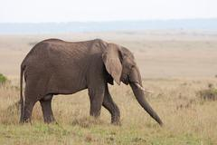 African Elephant, Maasai Mara, vintage - stock photo