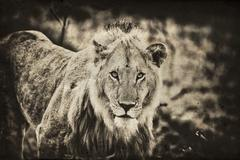 Male African Lion, Maasai Mara, Kenya, vintage - stock photo