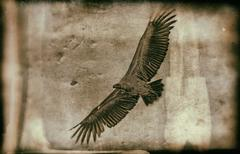 Ruppells griffon vulture, Maasai Mara, vintage - stock photo