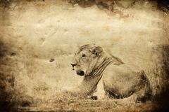 Male African Lion, Maasai Mara, Kenya, vintage Stock Photos