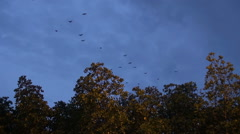 Evening Flight Of Fruit Bats From A Mangrove Swamp Stock Footage