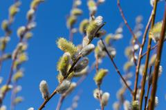 Fluffy soft willow buds - stock photo