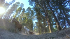 Horses galloping in forest Roundup on Dude Ranch Canada - stock footage