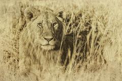 Male African Lion, Maasai Mara, Kenya, vintage - stock photo