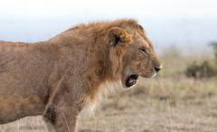 Male African Lion, Maasai Mara, Kenya - stock photo