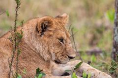 African Lion cub, Maasai Mara, Kenya - stock photo
