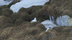 Two seagulls lying in dead Arctic grass. Stock Footage