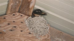 Barn Swallow sitting in its nest in a barn. Stock Footage
