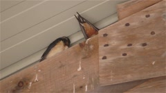 Barn Swallows hiding in the rafters of a barn. - stock footage