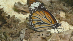 Shoot of a Monarch butterfly Stock Footage