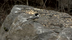 Black Capped Chickadee eating bird seed on a large rock. Stock Footage