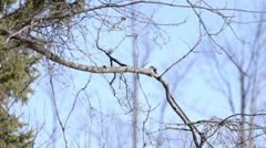 A black capped chickadee taking flight. Stock Footage