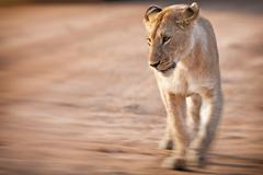 African Lioness, Maasai Mara, Kenya - stock photo