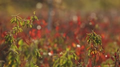 Red-flowered wetland flora. Rack Stock Footage