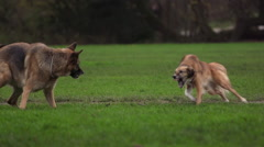 Dog fight in park. Part 1, slow motion. Stock Footage