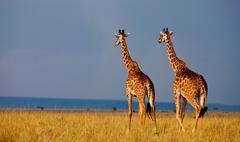 Giraffes, Maasai Mara, Kenya - stock photo