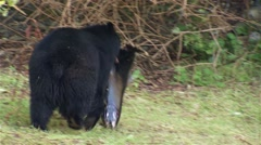 Black bear bringing a fish it caught to its den in a British Columbian rain Stock Footage