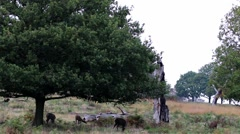 Red Deer Herd under a Tree. In Autumn During Rut. Stock Footage