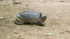 Common Snapping Turtle slowly walking on a dirt path. Stock Footage