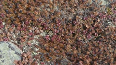 Crowberries growing in the Arctic tundra. Pan Stock Footage