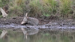 Red Deer Stag Wallowing in Mud by a Pond During Rut. Stock Footage