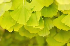 Leaves of Gingko Biloba Stock Photos