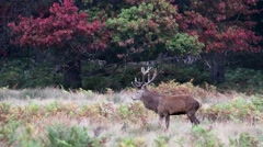 Red Deer Stag Standing Proud During the Rut. Walks Out of Frame. - stock footage