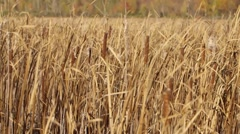 Field of tall grass in an Ontario forest clearing. Tilt Stock Footage