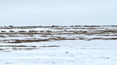 Group of caribou crossing frozen tundra. Stock Footage