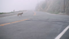 Coyotes search for scraps on a foggy morning - stock footage