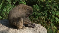 Japanese macaques hanging out on some rocks. - stock footage