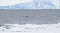Bowhead whale breaching the water of the Arctic ocean. Stock Footage