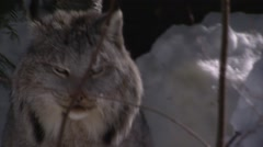 Lynx sitting out front of its den in a forest in winter. Stock Footage