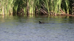 An american coot swimming through pond, fluttering wings. Stock Footage