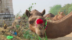 Decorated camel - stock footage