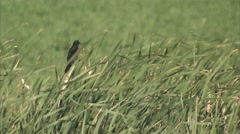 A red wing black bird in a Manitoba field. - stock footage